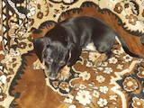 Собаки, щенки Гладкошерстная миниатюрная такса, цена 150 Грн., Фото