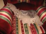 Кішки, кошенята Британська довгошерста, ціна 600 Грн., Фото