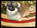 Собаки, щенята Пекінес, ціна 150 Грн., Фото