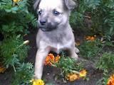 Собаки, щенята Безпорідна, ціна 0.50 Грн., Фото