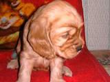Собаки, щенки Американский коккер, цена 800 Грн., Фото