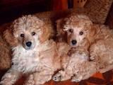 Собаки, щенки Карликовый пудель, цена 1300 Грн., Фото
