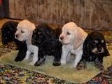 Собаки, щенята Американський коккер, ціна 950 Грн., Фото