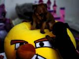 Собаки, щенята Той-пудель, ціна 1999 Грн., Фото