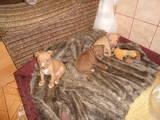 Собаки, щенки Стаффордширский бультерьер, цена 500 Грн., Фото