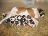Собаки, щенята Сенбернар, ціна 1000 Грн., Фото