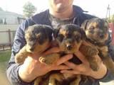 Собаки, щенята Вельштер'єр, ціна 1600 Грн., Фото