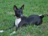 Собаки, щенки Басенджи, цена 6500 Грн., Фото