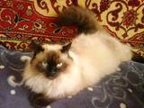 Кішки, кошенята Невськая маскарадна, ціна 1200 Грн., Фото