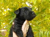 Собаки, щенки Скотчтерьер, цена 5000 Грн., Фото