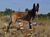 Собаки, щенки Бельгийская овчарка (Малинуа), цена 9000 Грн., Фото