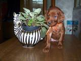 Собаки, щенки Ирландский сеттер, цена 2000 Грн., Фото