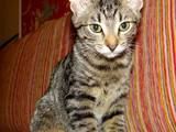 Кошки, котята Египетская мау, цена 400 Грн., Фото