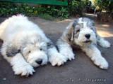 Собаки, щенята Південноросійська вівчарка, ціна 8000 Грн., Фото