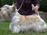 Собаки, щенята Скотчтерьер, ціна 2000 Грн., Фото