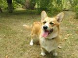 Собаки, щенята Вельш коргі пемброк, ціна 6500 Грн., Фото