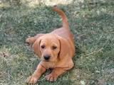 Собаки, щенки Венгерская выжла, цена 5000 Грн., Фото