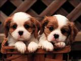 Собаки, щенята Кавалер-кинг-чарльз спаніель, ціна 5500 Грн., Фото