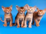 Кошки, котята Абиссинская, цена 8000 Грн., Фото