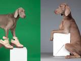 Собаки, щенята Веймарська лягава, ціна 4000 Грн., Фото
