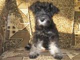 Собаки, щенки Цвергшнауцер, цена 2000 Грн., Фото