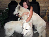 Собаки, щенята Біла Швейцарська вівчарка, ціна 3400 Грн., Фото