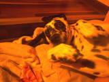 Собаки, щенки Далматин, Фото
