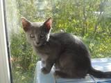 Кішки, кошенята Російська блакитна, ціна 3000 Грн., Фото