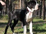 Собаки, щенки Немецкий дог, цена 6000 Грн., Фото
