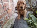 Собаки, щенки Английский спрингер спаниель, цена 600 Грн., Фото