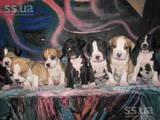 Собаки, щенята Стаффордширський бультер'єр, ціна 600 Грн., Фото