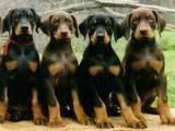 Собаки, щенята Бладхаунд, ціна 100 Грн., Фото