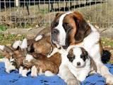 Собаки, щенки Сенбернар, цена 2000 Грн., Фото