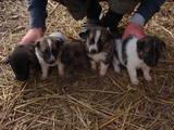 Собаки, щенки Беспородная, цена 80 Грн., Фото