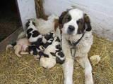 Собаки, щенята Сенбернар, ціна 1200 Грн., Фото