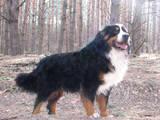 Собаки, щенки Бернская горная собака, цена 3500 Грн., Фото