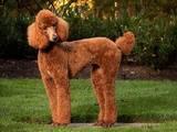 Собаки, щенята Великий пудель, ціна 1000 Грн., Фото