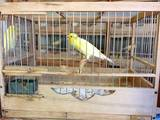 Попугаи и птицы Канарейки, цена 350 Грн., Фото