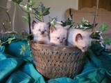 Кішки, кошенята Балінез, ціна 200 Грн., Фото