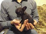 Собаки, щенята Невідома порода, ціна 500 Грн., Фото