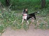 Собаки, щенки Чихуа-хуа, цена 100 Грн., Фото