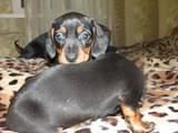 Собаки, щенки Гладкошерстная миниатюрная такса, цена 350 Грн., Фото
