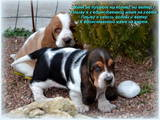 Собаки, щенята Бассет, ціна 3500 Грн., Фото