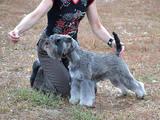 Собаки, щенята Цвергшнауцер, ціна 10 Грн., Фото