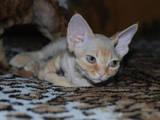 Кошки, котята Девон-рекс, цена 3500 Грн., Фото