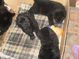 Собаки, щенки Ньюфаундленд, цена 3000 Грн., Фото