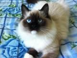 Кошки, котята Рэгдолл, цена 3500 Грн., Фото