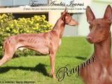 Собаки, щенята Фараонова собака, Фото