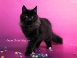Кошки, котята Норвежская лесная, цена 5500 Грн., Фото