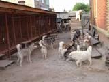 Собаки, щенки Аляскинский маламут, цена 20000 Грн., Фото